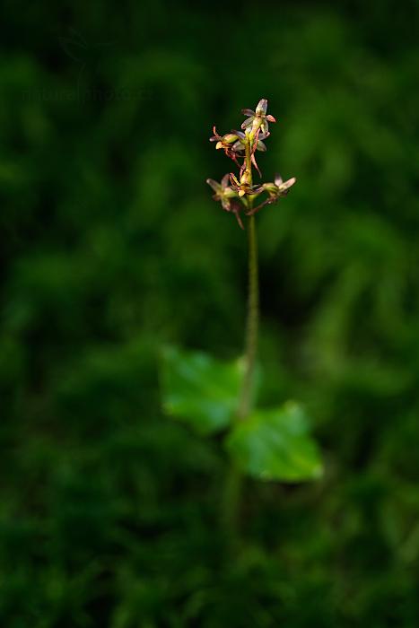 Bradáček srdčitý (Listera cordata)