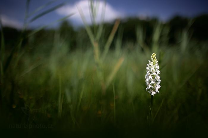 Prstnatec plamatý sedmihradský (Dactylorhiza maculata ssp. transsilvanica)