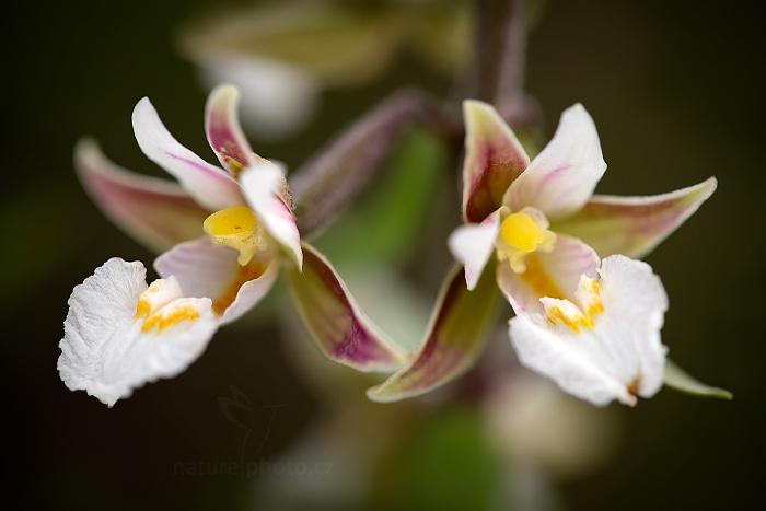 Kruštík bahenní (Epipactis palustris)