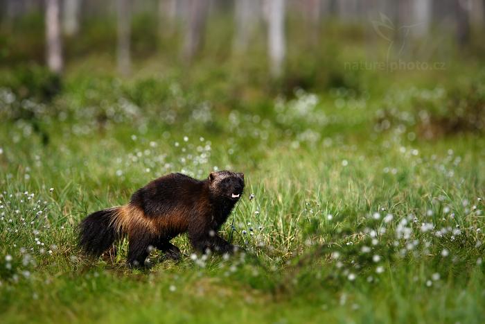 Rosomák sibiřský (Gulo gulo)
