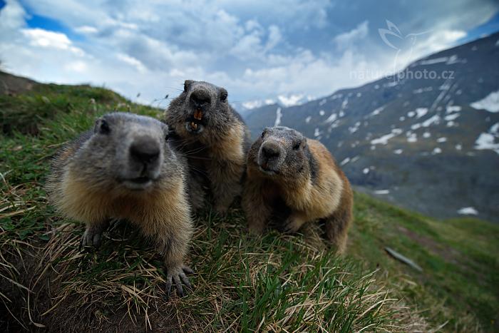 Svišť horský (Marmota marmota)