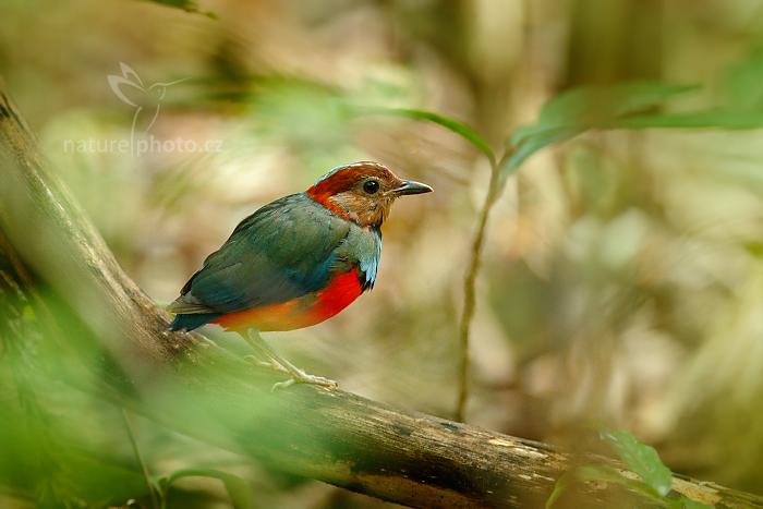 Pita červenobřichá (Pitta erythrogaster)