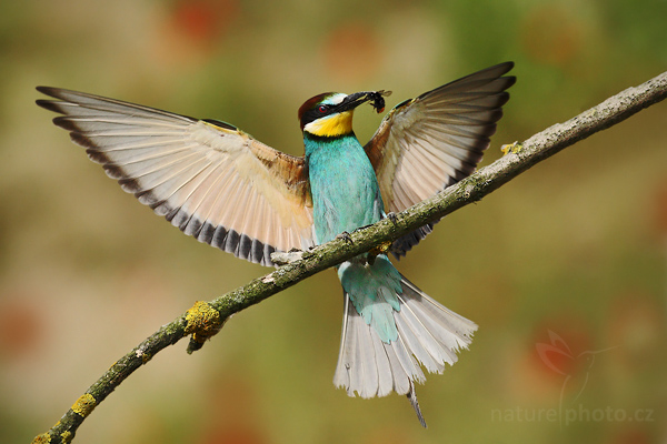 Vlha pestrá (Merops apiaster), European Bee-eater