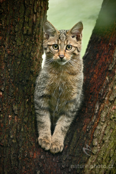 Kočka divoká (Felis silvestris),