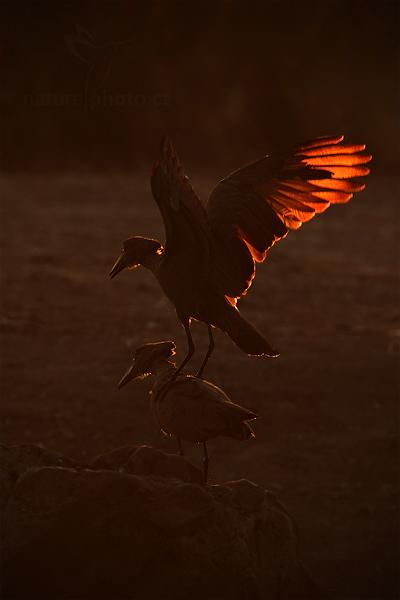 Kladivouš africký (Scopus umbretta)