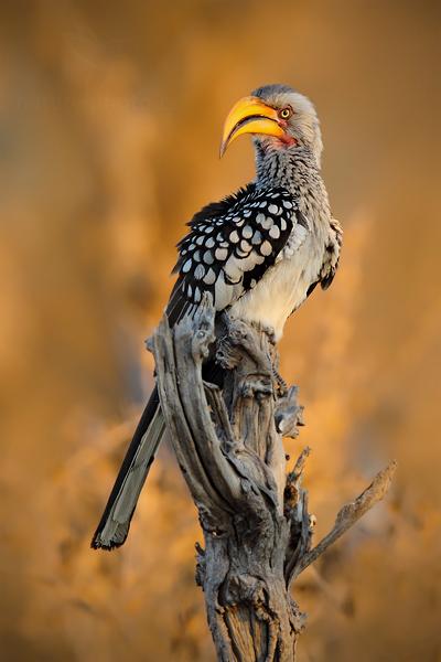 Zoborožec rudozobý (Tockus erythrorhynchus)