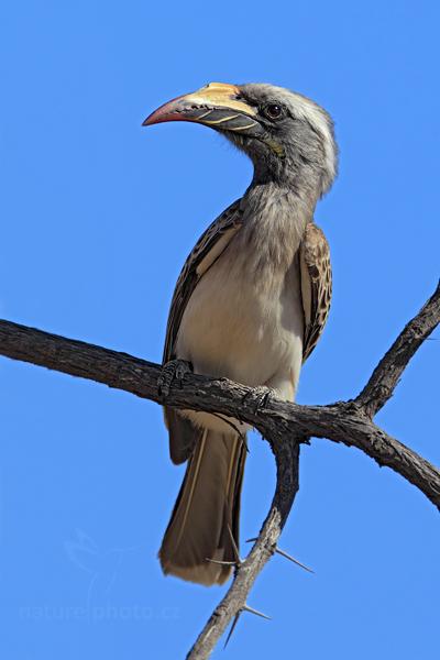 Zoborožec šedý (Tockus nasutus)