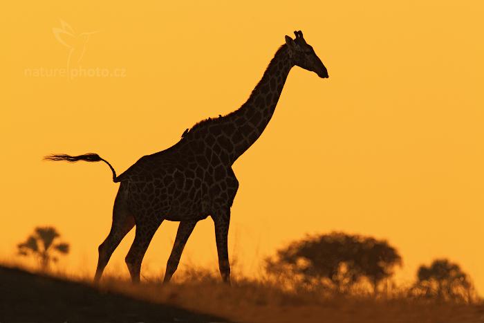 Žirafa angolská (Giraffa camelopardalis)