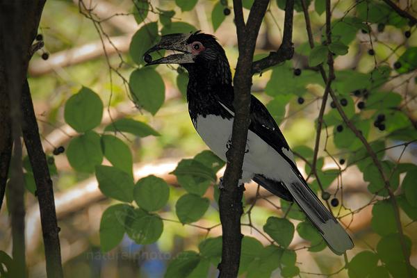 Zoborožec naříkavý (Bycanistes bucinator)