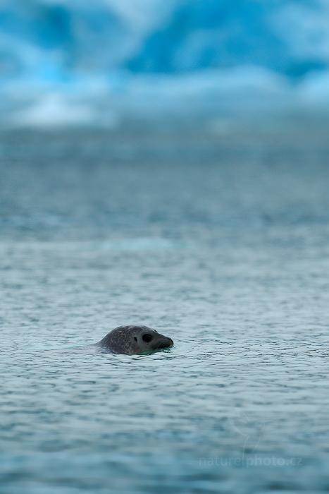 Tuleň kroužkovaný (Pusa hispida)