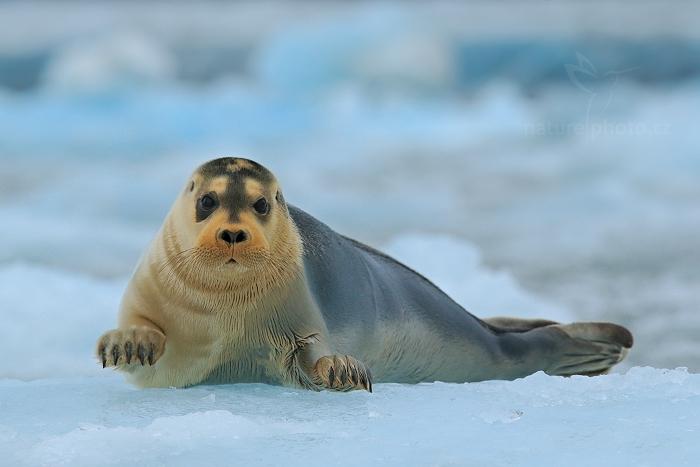 Tuleň vousatý (Erignathus barbatus)