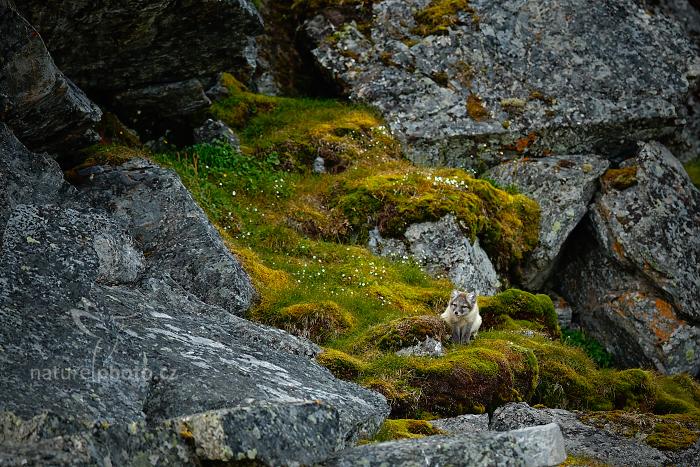 Liška polární (Vulpes lagopus)