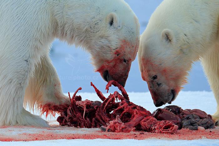 Medvěd lední (Ursus maritimus)