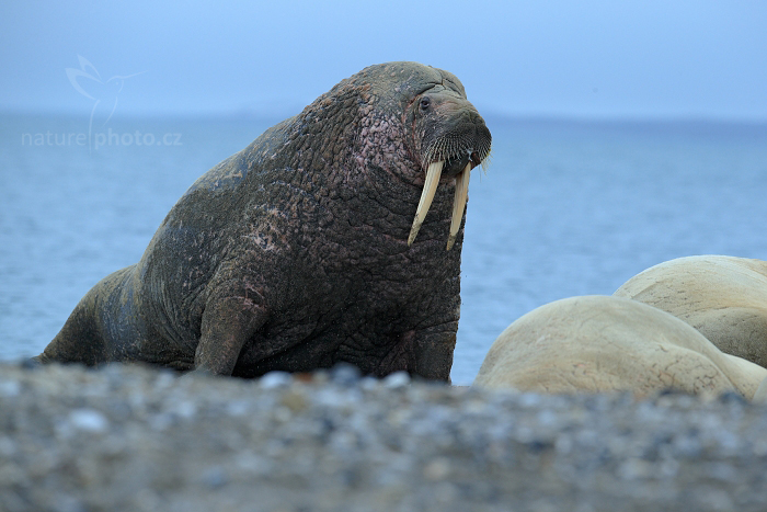 Mrož lední (Odobenus rosmarus)