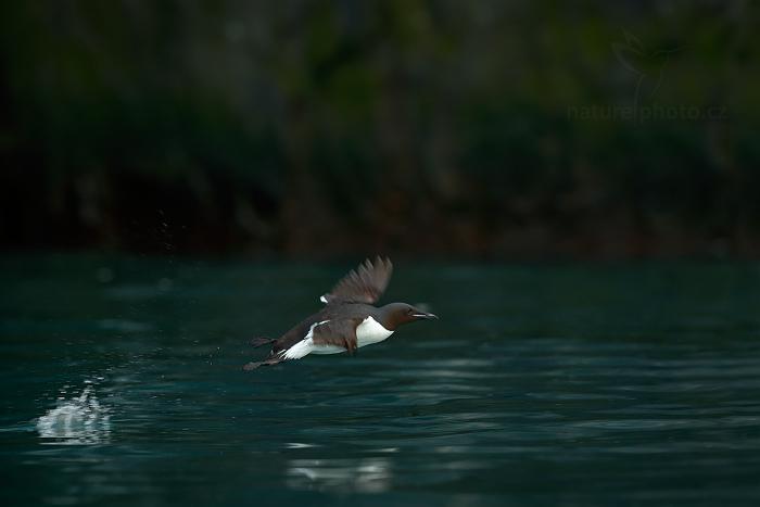 Alkoun tlustozobý (Uria lomvia)