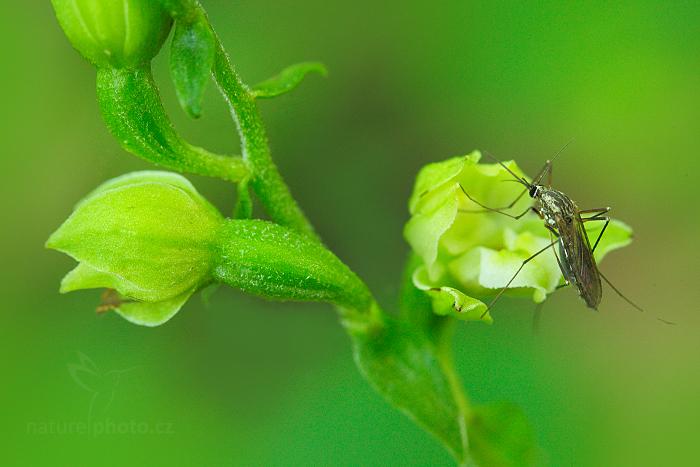 Kruštík moravský (Epipactis moravica)