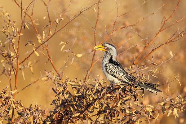 Zoborožec jihoafrický (Tockus leucomelas)