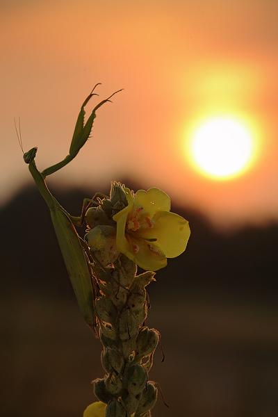 Kudlanka nábožná (Mantis religiosa),