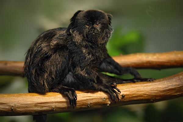 Tamarín skákavý (Callimico goeldii)