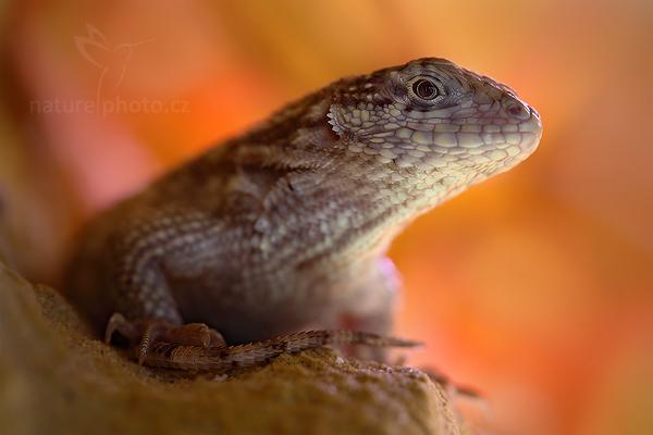 Leguánek měnivý (Leiocephalus carinatus)