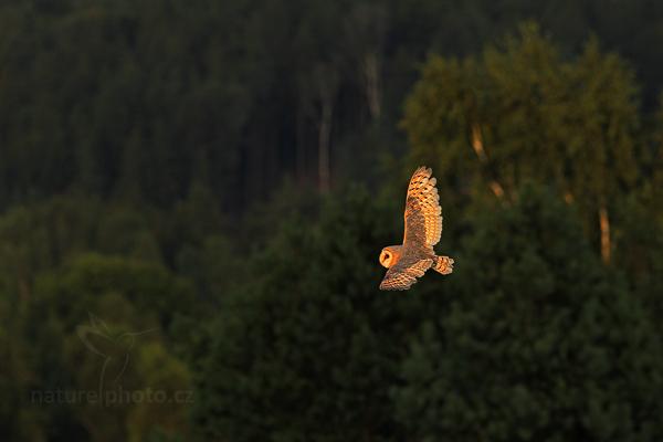 Sova pálená (Tyto alba)