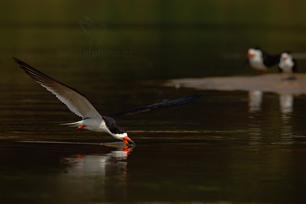 Zoboun americký (Rynchops niger)