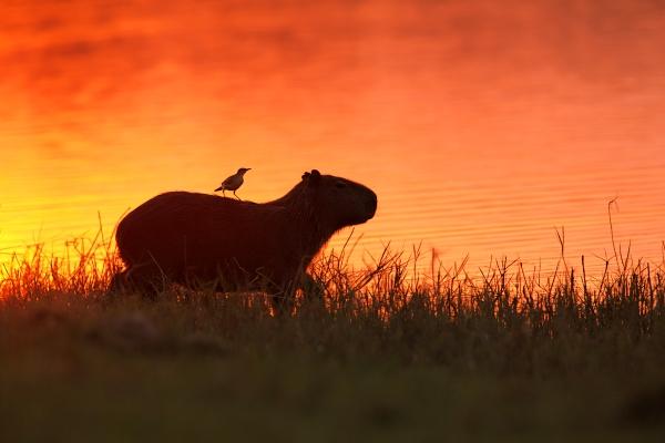 Kapybara mokřadní (Hydrochoerus hydrochaeris)