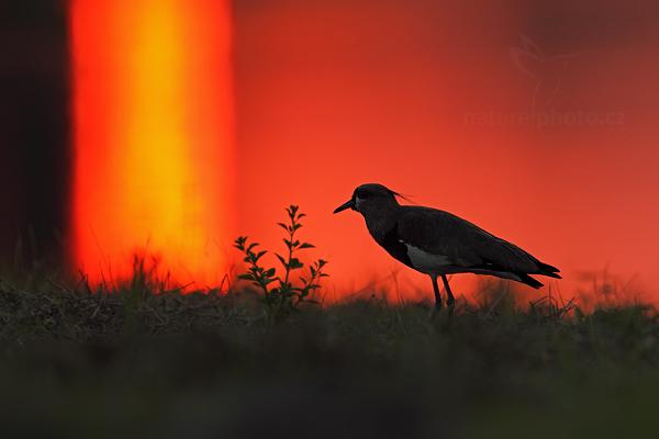 Čejka jihoamerická (Vanellus chilensis)