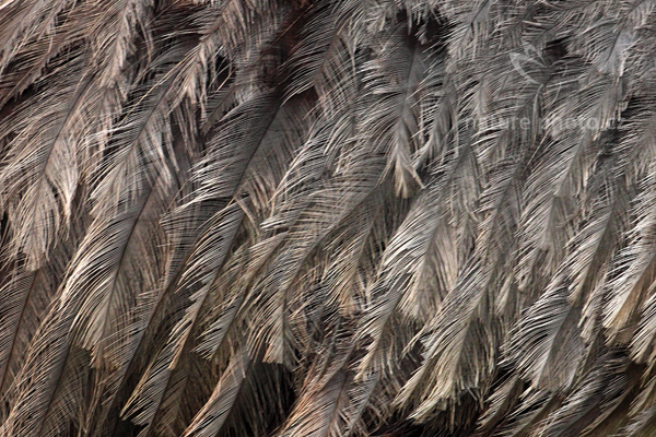 Nandu pampový (Rhea americana)