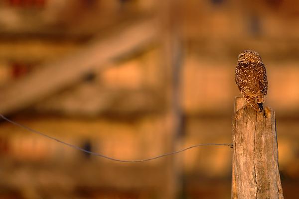 Sýček králičí (Athene cunicularia)