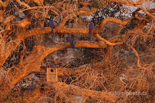 Ara hyacintový (Anodorhynchus hyacinthinus)