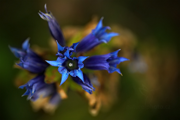 Hořec tolitovitý (Gentiana asclepiadea)