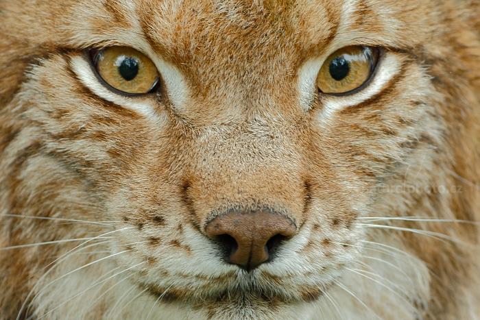 Rys ostrovid (Lynx lynx) Eurasian Lynx