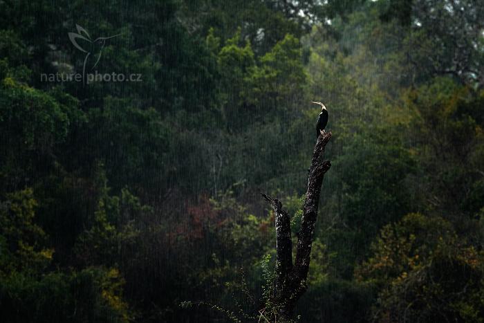 Anhinga rezavá (Anhinga melanogaster)