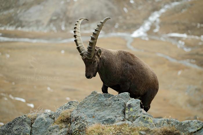 Kozorožec alpský (Capra ibex ibex)