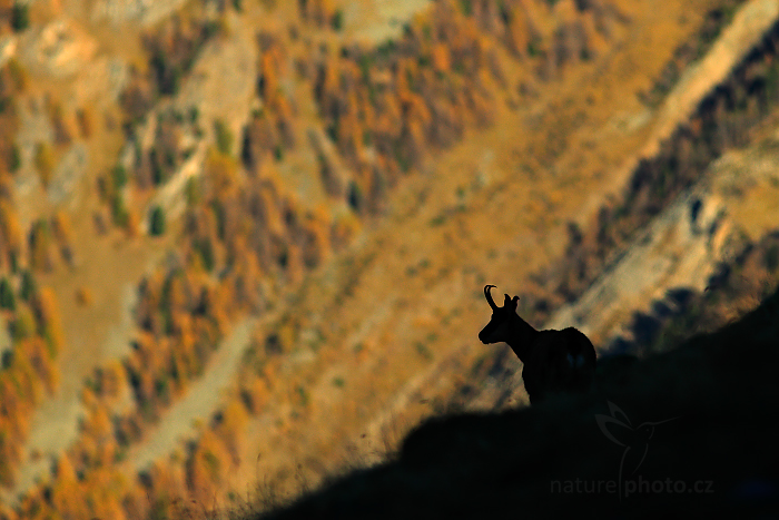 Kamzík horský alpský (Rupicapra rupicapra)