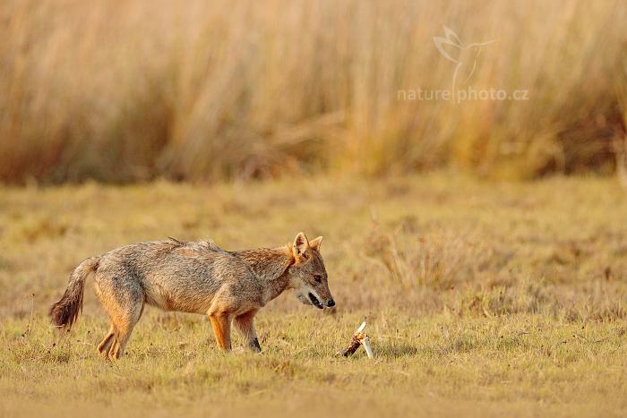 Šakal obecný (Canis aureus)