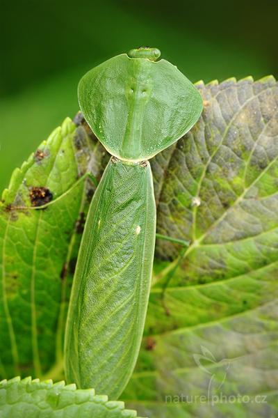 Kudlanka listová (Choeradodis rhombicollis)