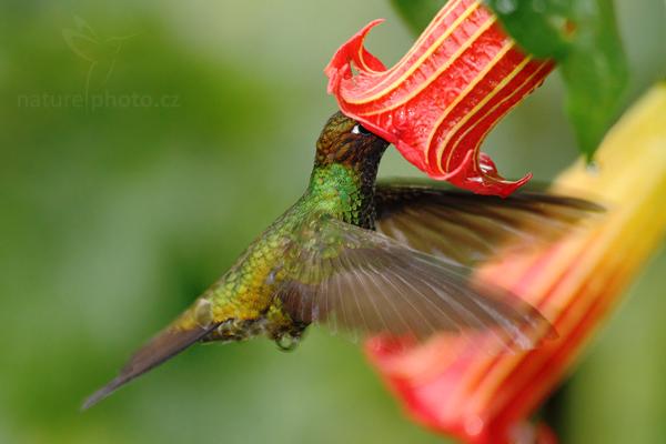 Kolibřík mečozobec (Ensifera ensifera)