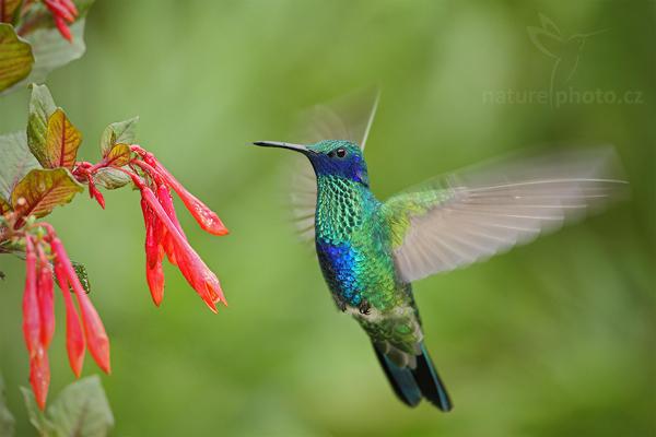 Kolibřík modrolící (Colibri coruscans)