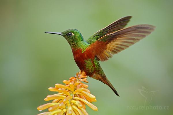 Kolibřík peruánský (Boissonneaua matthewsii)