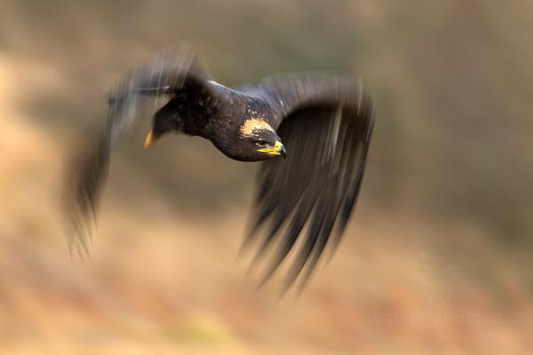Orel stepní (Aquila nipalensis)