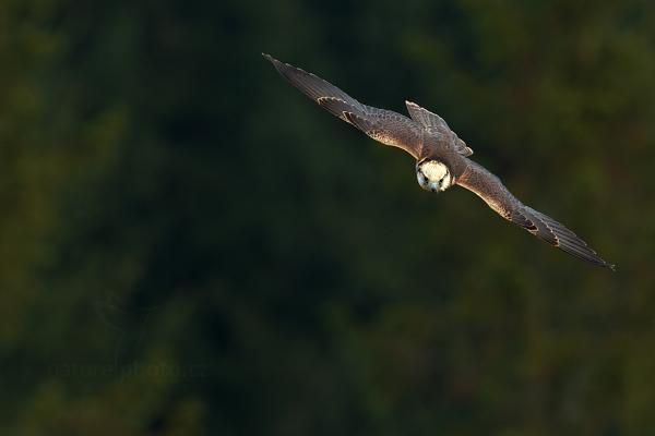 Raroh jižní (Falco biarmicus)