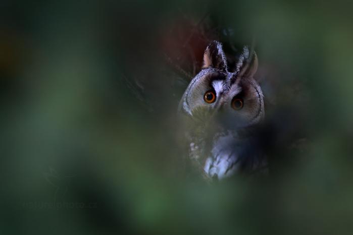 Kalous ušatý (Asio otus)