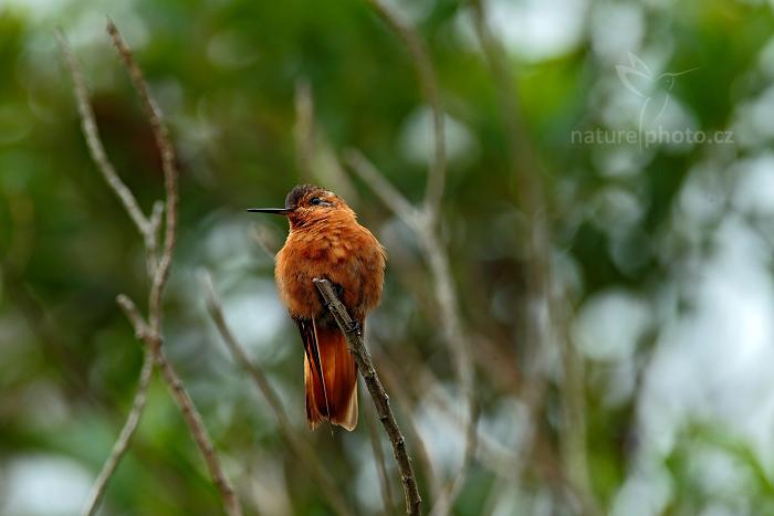 Kolibřík duhovohřbetý (Aglaeactis cupripennis)