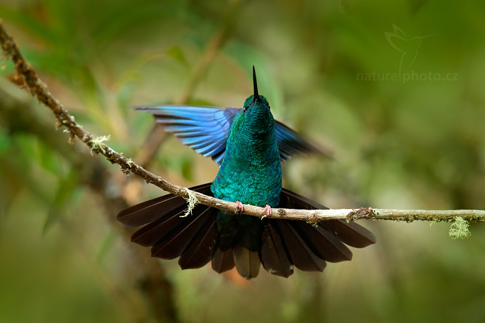Kolibřík modrokřídlý Pterophanes cyanopterus)