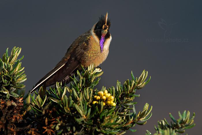 Kolibřík přílbový (Oxypogon guerinii stuebelii)