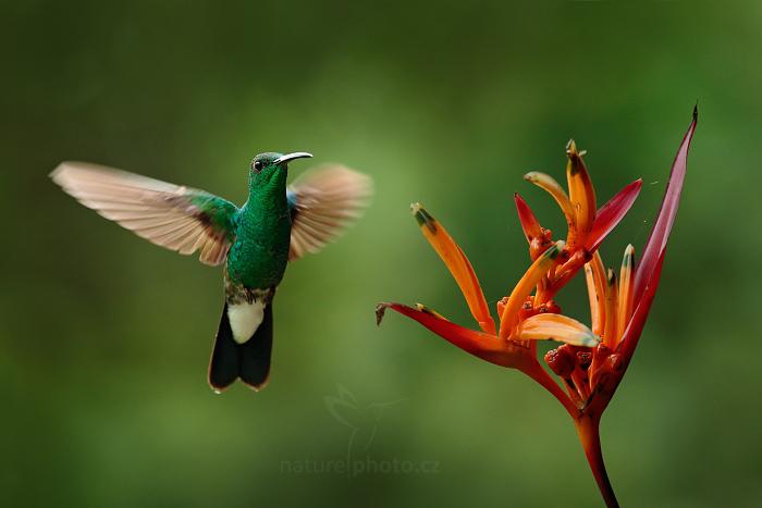 Kolibřík Buffonův (Chalybura buffonii)