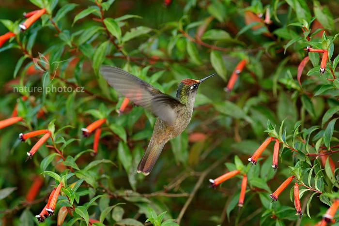 Kolibřík hnědotemenný (Anthocephala floriceps)