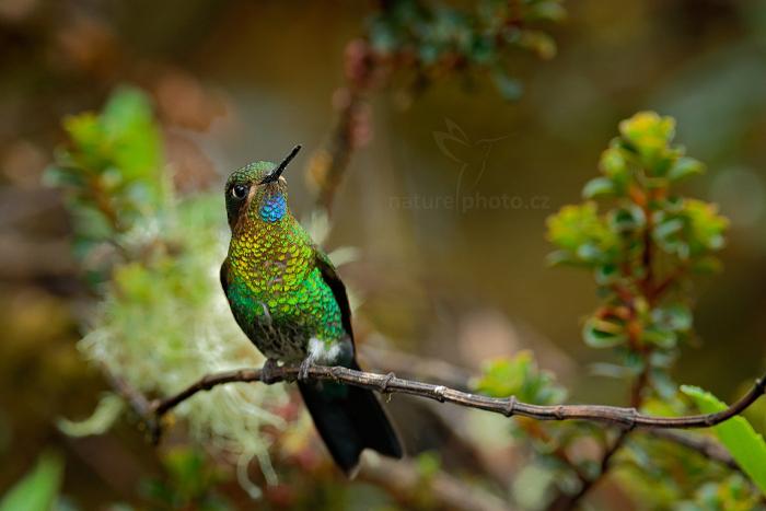 Kolibřík žhnoucí (Eriocnemis vestitus / E. vestita)